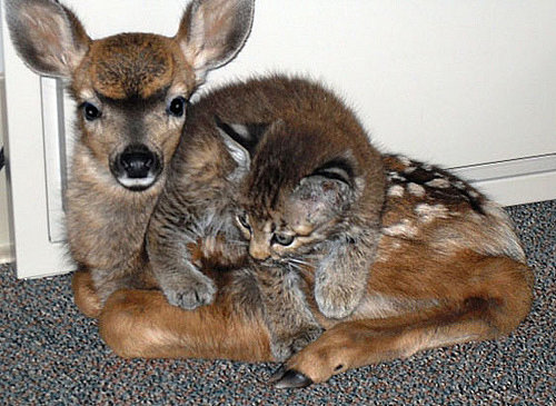 This fawn and kitten are such close friends, it's hard to tell where one ends and the other begins. Source: Flickr user thomasslavin