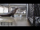 Sea Lion Dances to Backstreet Boys