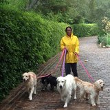 Oprah Winfrey walked her five dogs, golden retrievers Luke and Layla, cocker spaniel Sadie, and springer spaniels Sunny and Lauren in the rain in November 2012. Source: Instagram user oprah