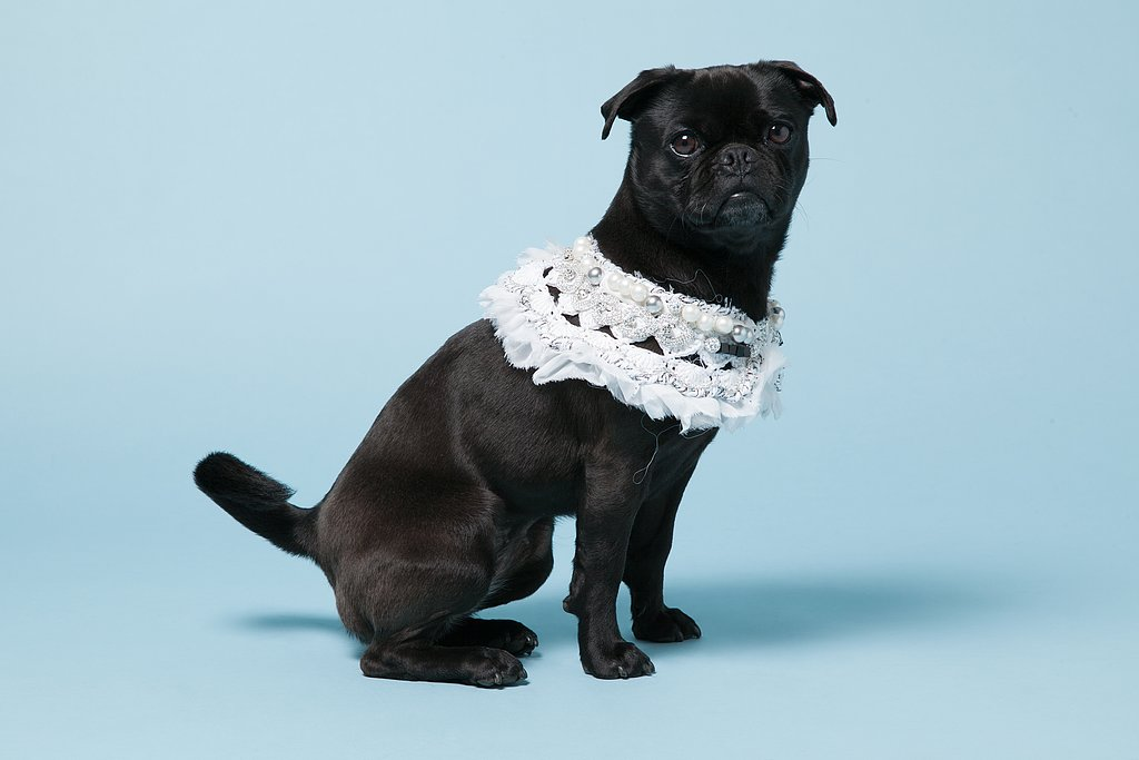 Pepper, a Pug-Terrier mix, with Michaela Buerger's White Crochet Chiffon Jane Collar ($535). Photo courtesy of Avenue32.
