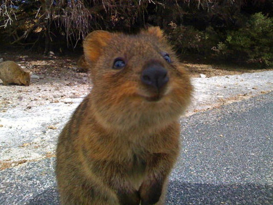 "Quokkas are classified as ""vulnerable,"" according to the International Union For Conservation of Nature. Humans, take note: we can always do something to help keep the world a smilier place.  Source: Tumblr user Her Middle Name Was Boom"