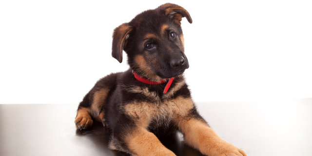 What Do You Know About German Shepherd Dogs?