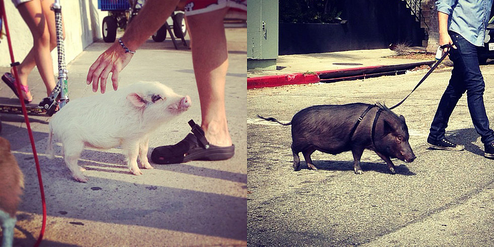 Summer Fun: Pigs on Leashes