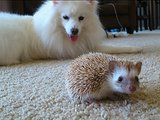 Dog and Hedgehog Video