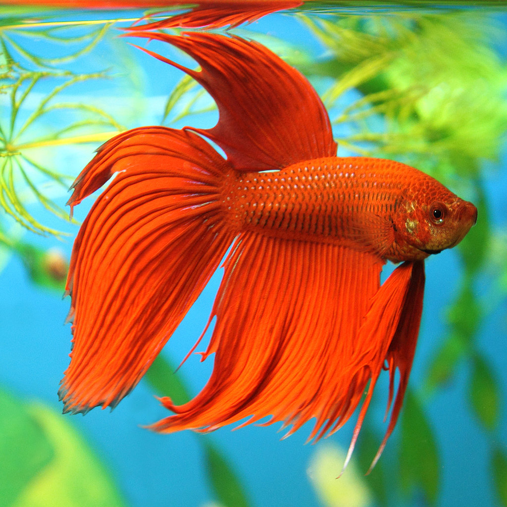 betta fish facts popsugar pets