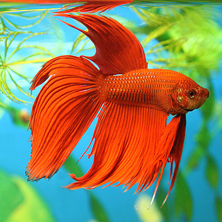 Betta Fish Facts