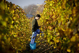 In Prague, a man collected grapes at the Havlicek Garden's vineyard for the seasonal harvest.