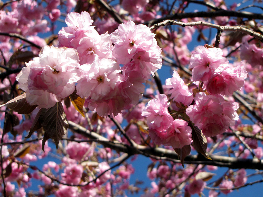 See the Cherry Blossoms