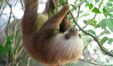 Sloth Stomachs Designed to Hang Upside Down