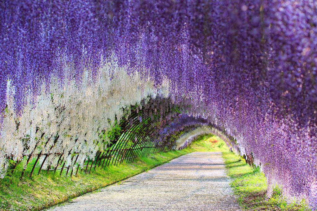 Run Through a Wisteria Flower Tunnel in Japan