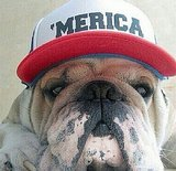 This English Bulldog is repping the states in a baseball cap. Source: Instagram user sarahwhittle5