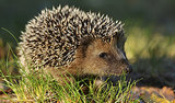 In Poland, Hedgehogs Find a Saviour