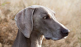 10 Cool Facts About Weimaraners