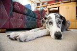 10 Laziest Dog Breeds