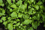 Cool-Season Vegetables: How to Grow Salad Greens (3 photos)