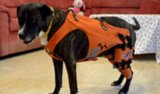 Hip Harness Helps Dogs With Dysplasia