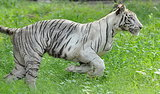 White Tiger Kills Youth at New Delhi Zoo