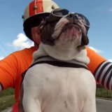 Waving English Bulldog