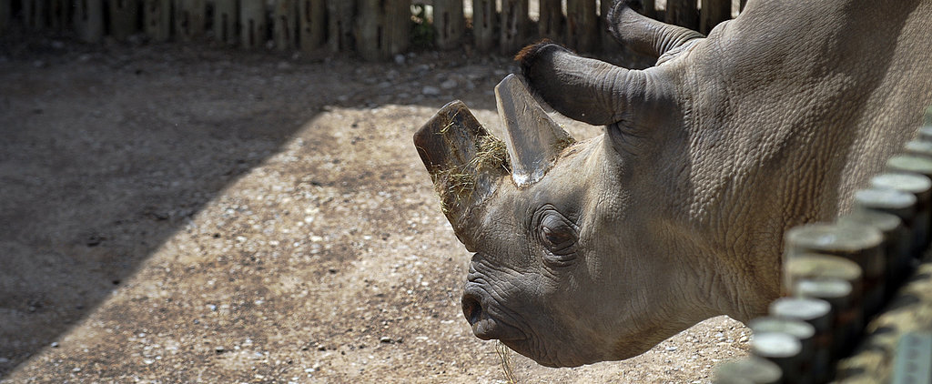 "The Northern White Rhino ""Now Stands at the Brink of Complete Extinction"""