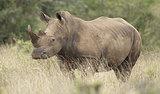 Rare White Rhino Dies in Kenya, Pushing Breed Close to Extinction