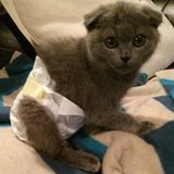 Gwen the Scottish Fold/Manx Mix Is a Lovable Little Poopy Pants