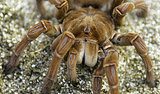 Puppy-Sized Spider Romps in Rainforest