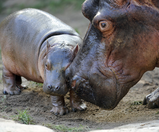 Hi, Kumba  This Big Hippo Babe Measures Up!