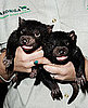 Tasmanian Devil Babies!