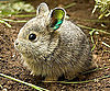 Pygmy Rabbits Face Extinction