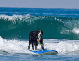 Hawaiian Bernese