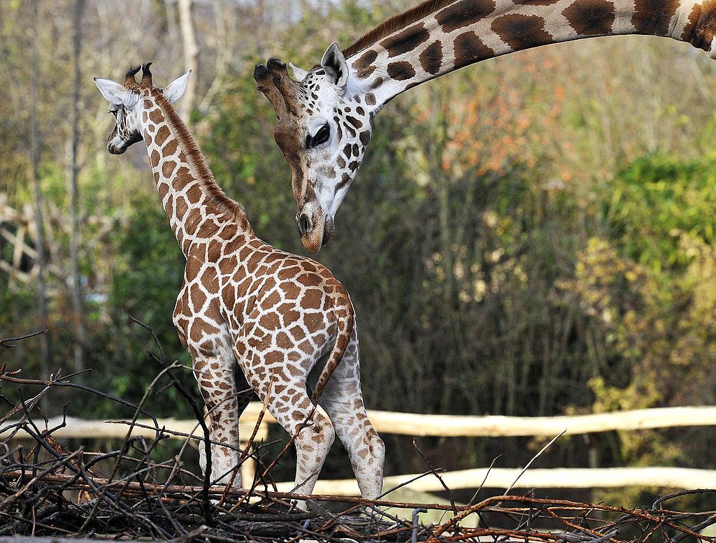 Sara the Giraffe