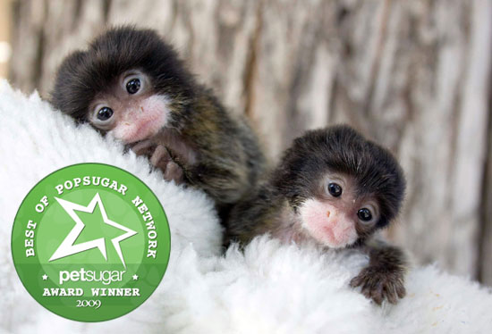 Best of '09: Lara and Lucy, the Cottontop Tamarins