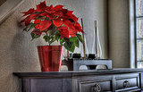 The classic poinsettia is a beautiful choice for Christmas. Display it in a metallic pot for a modern effect. Source:  Flickr User CodyR