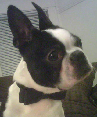 What Do You Know About Boston Terriers?