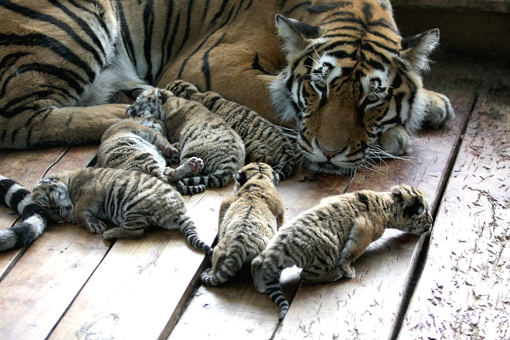 Six Tiger Cubs