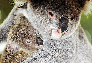 Say Bonjour to the First Koala Ever Born in France!