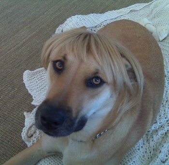 Lauren Conrad's Dog Chloe Wears a Wig!