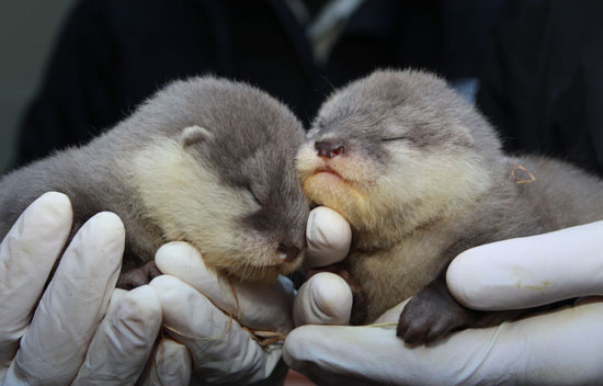 Photos of Baby Otters