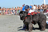 Newfoundland Water Rescue Dog!