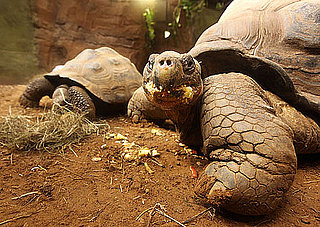 Check Out The Galapagos Turtles At the New 'Giant of the Galapagos' Exhibit in ZSL London Zoo