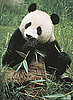 Bai Yun Gives Birth to Fifth Giant Panda: In the LINK of an Eye!