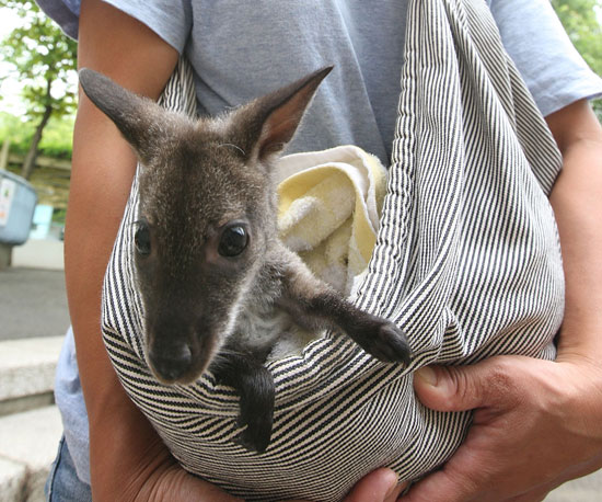 Baby Wallaby Gets a Foster Mom With Makeshift Pouch!