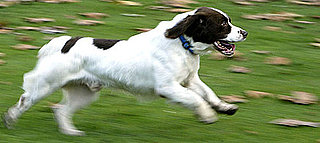 What Do You Know About English Springer Spaniels?