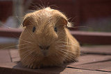 Popular Pet Guinea Pig Names