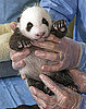 When Will This Baby Panda Get His Name?