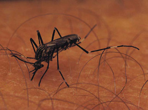 Another Virus to Worry About: Chikungunya