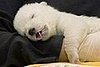 Cute Alert: Sleeping Baby Polar Bear