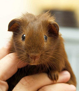 Cute Alert: Guinea Pig With a Center Part