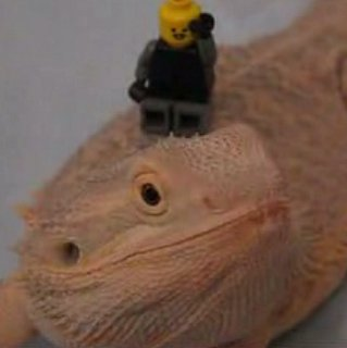 Bearded Dragon Poses for the Camera