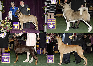 2008 Westminster Winners: Working Group